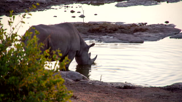 LS Rhinoceros Drinking From Waterhole video