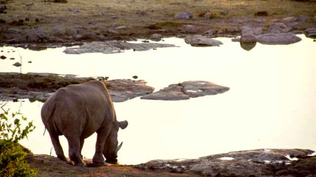 LS Rhinoceros Drinking Water video