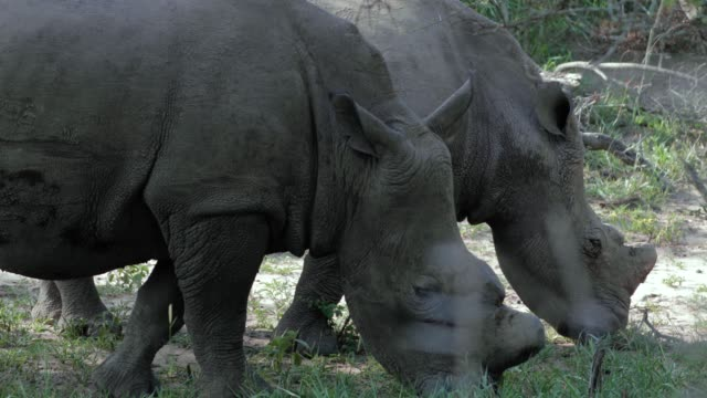 Rhinoceros eats grass of the ground in South Africa. The wild animal is big in the nature - close-up view - animal and wildlife concept