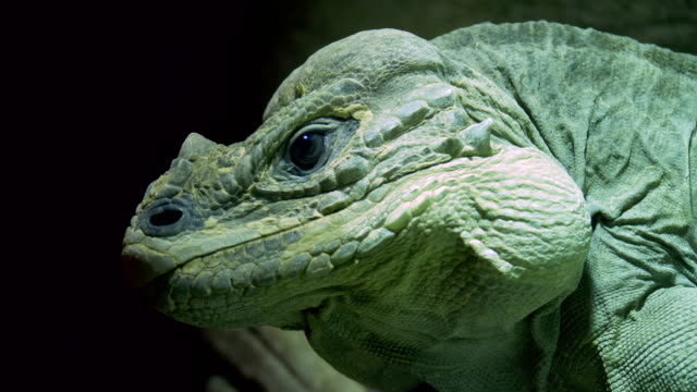 Rhinoceros Iguana Close Up - video