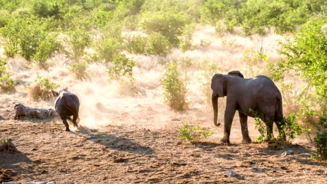 LS ZO Rhinoceros Running From Elephant video