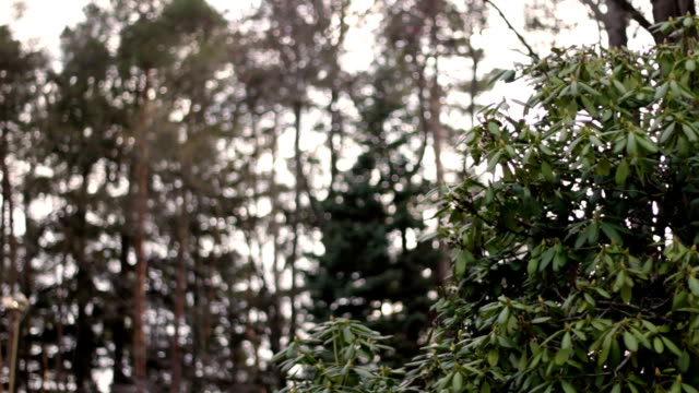 rhododendron bush against a sunny pine forest - joseph kelly stock videos and b-roll footage