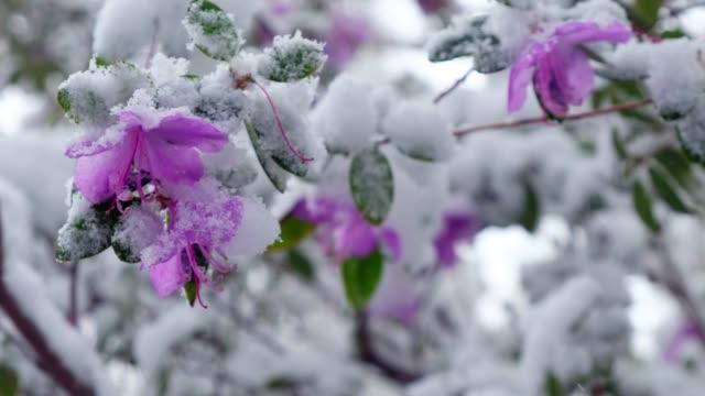 シベリアの後半の春の降雪で積雪下で dauricum シャクナゲ - 雪点の映像素材/bロール