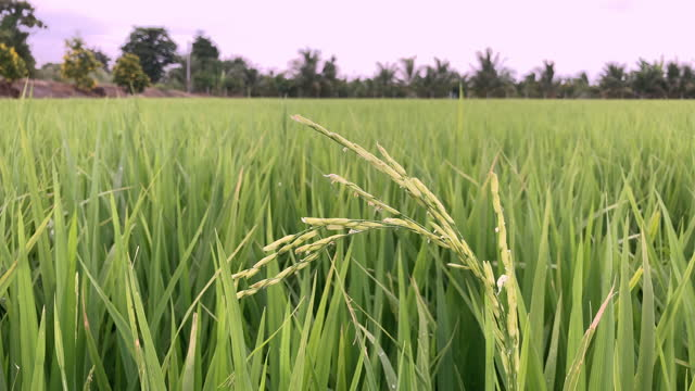 Rice and cereals are abundant in Thailand. video