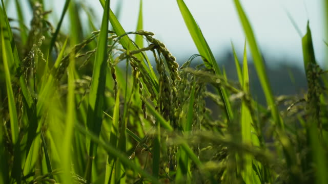Rice crop growing in field Close-up of green rice paddy field rice cereal plant stock videos & royalty-free footage