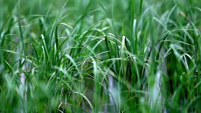 rice crop swaying through wind close up - haryana video stock e b–roll