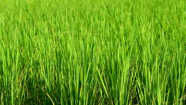 HD: Rice crop under the wind video