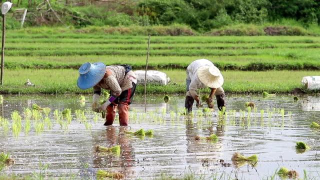 uprawie ryżu - pole ryżowe filmów i materiałów b-roll