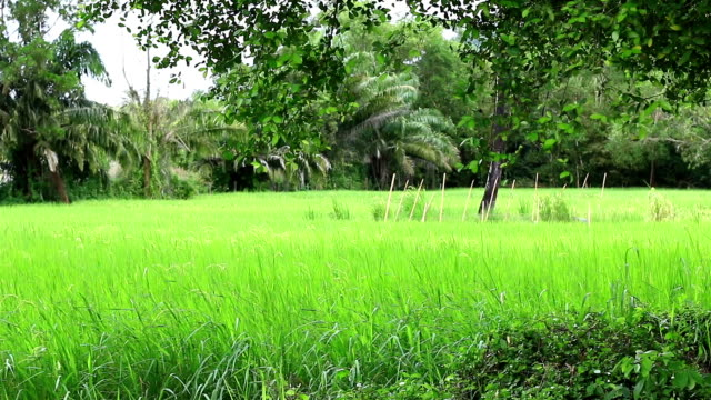 rice farm in thailand. - cespuglio tropicale video stock e b–roll