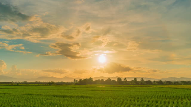 Rice field and sunset 4K time lapse. Rice field and sunset 4K time lapse. rice cereal plant stock videos & royalty-free footage
