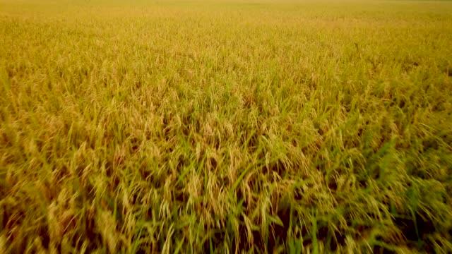 risfält i gryningen - ris spannmålsväxt bildbanksvideor och videomaterial från bakom kulisserna