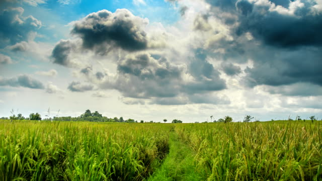 Rice field before rain time lapse video