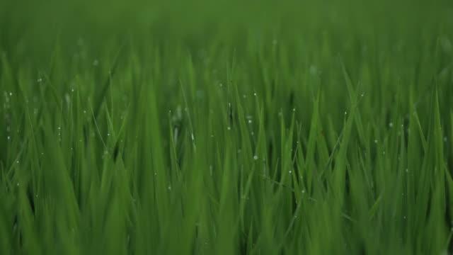 Rice field closeup video