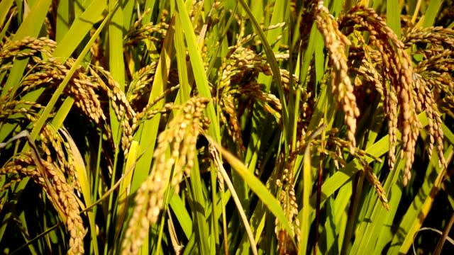 タイのライス フィールド金草自然映像背景 - 稲点の映像素材/bロール