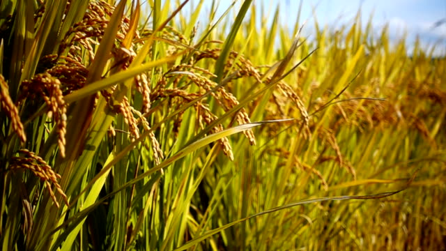 Rice field gold grass nature footage background in Thailand Rice field gold grass nature footage background in Thailand waving rice cereal plant stock videos & royalty-free footage