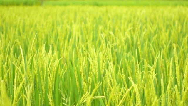 rice field green grass nature footage background in thailand - pole ryżowe filmów i materiałów b-roll