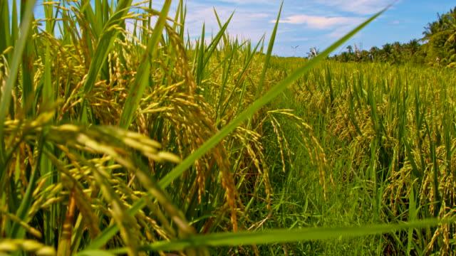 ws ryżu pola w bali - pole ryżowe filmów i materiałów b-roll