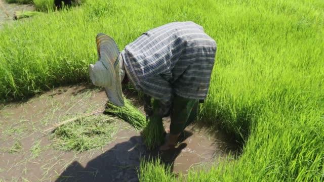 Rice field in Thailand.