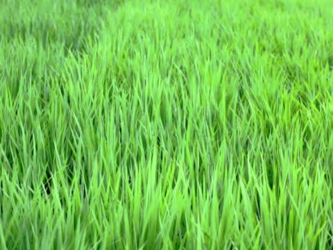 ntsc: campo di riso nel forte vento (video - parte della pianta video stock e b–roll