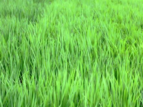 pal: campo di riso nel vento (video - parte della pianta video stock e b–roll