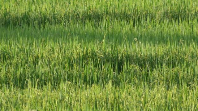 優しい翼を持つ田んぼのシーン - 稲点の映像素材/bロール