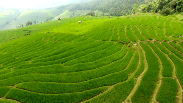 Rice field terrace on mountain agriculture land. Asian rice field terrace on mountain side, lush agriculture land. Rice is the staple food of Asia and part of Pacific. Over 90 percent of the world's rice is produced and consumed in the Asia-Pacific. rice cereal plant stock videos & royalty-free footage