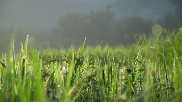 Rice field Rice field in the morning. rice paddy stock videos & royalty-free footage