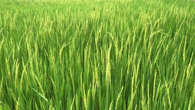 rice field with harvest - lama oggetto creato dall'uomo video stock e b–roll