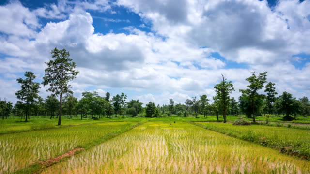 rice field with moving clouds - 2016 video stock e b–roll