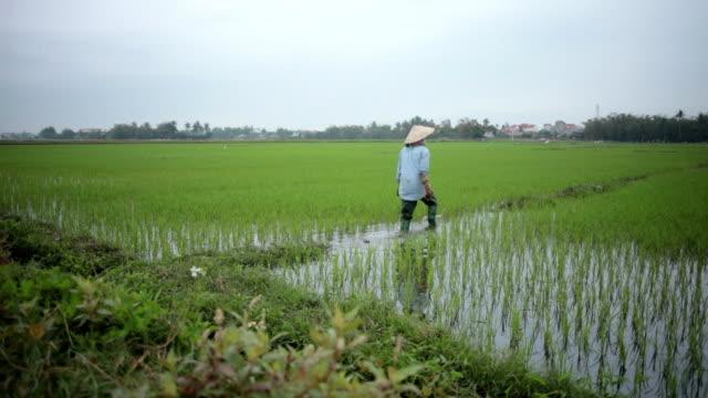 Rice Fields - Farmer video