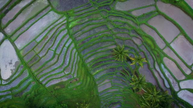 rice fields of ubud - pole ryżowe filmów i materiałów b-roll