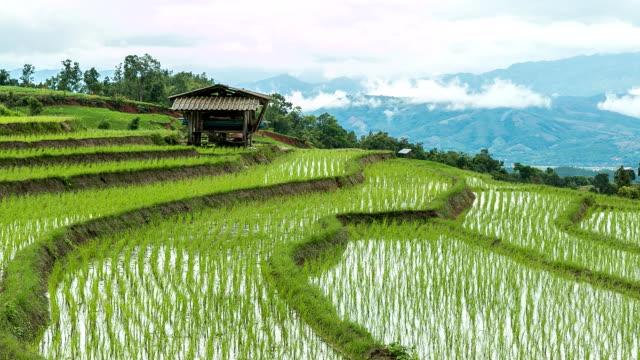 pól ryżowych w górach. - pole ryżowe filmów i materiałów b-roll