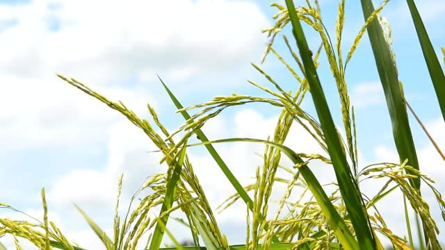 Rice fields video