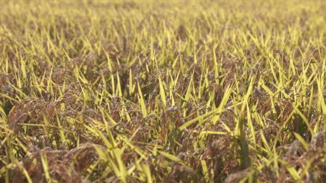 熟した黄金の耳 (スローモーション) と田んぼ - 稲点の映像素材/bロール