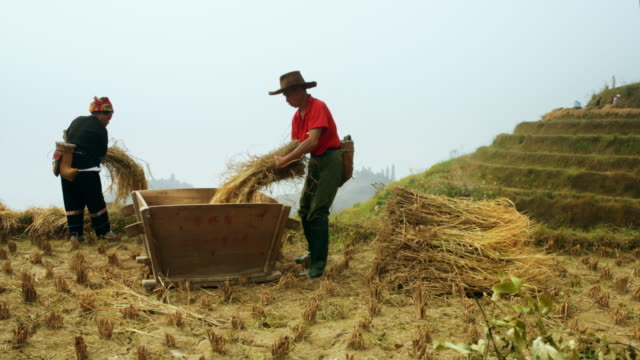 Rice Harvest in China Rice Harvest in PingAn,, China. rice paddy stock videos & royalty-free footage