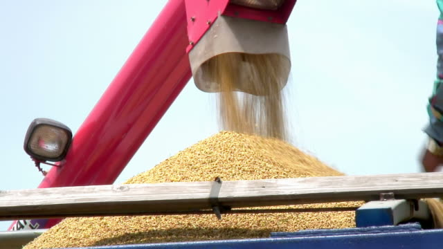 Rice harvest video