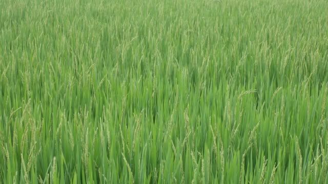 rice in the field shaking with wind - pianta vascolare video stock e b–roll