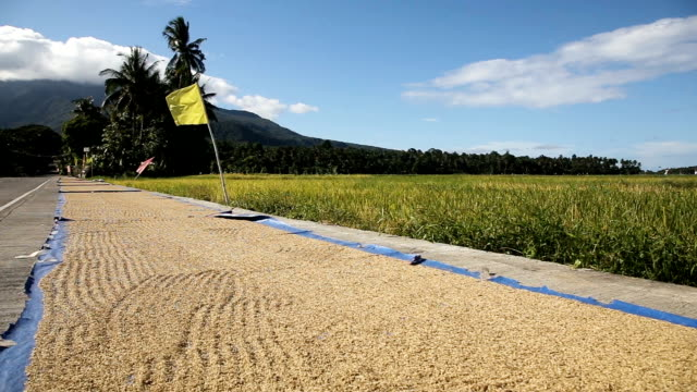 Rice is dried on the road in outdoors Many rice drying on the road outdoors.Golden paddy rice dried on the blue floor look like wave.Drying rice on the island of Camiguin Philippines harrow agricultural equipment stock videos & royalty-free footage