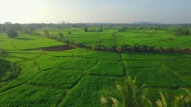 reis paddy landwirtschaft sri lanka - kopfbedeckung stock-videos und b-roll-filmmaterial