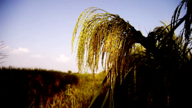 rice paddy field - haryana video stock e b–roll