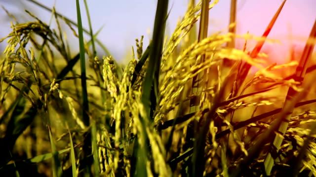 田んぼフィールド - ハリヤナ州点の映像素材/bロール