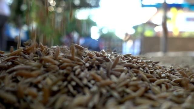 vidéos et rushes de riz paddy en slow motion - seigle grain