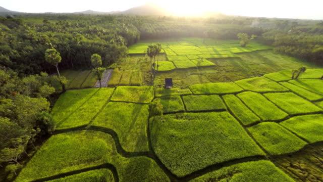 pole ryżowe rano - pole ryżowe filmów i materiałów b-roll