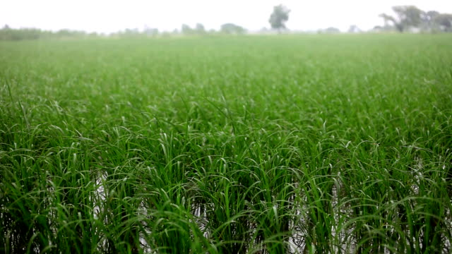 Rice paddy HD1080p: Irrigation through rain & irrigation canal in the field of rice paddy located in a small village of Haryana state India. monoculture stock videos & royalty-free footage