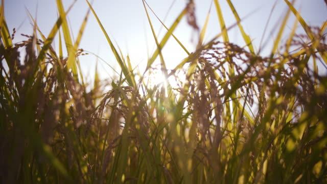 夜が風で揺れて穂 - 稲点の映像素材/bロール