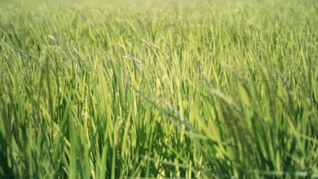 vídeos de stock, filmes e b-roll de panícula de arroz balançando ao vento - grama