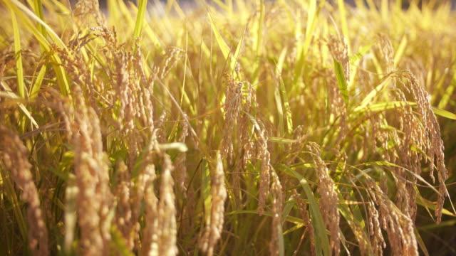 ris vippans skaka i vinden - ris spannmålsväxt bildbanksvideor och videomaterial från bakom kulisserna