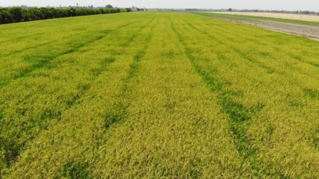 ライスプランテーショングリーンフィールド - 稲点の映像素材/bロール