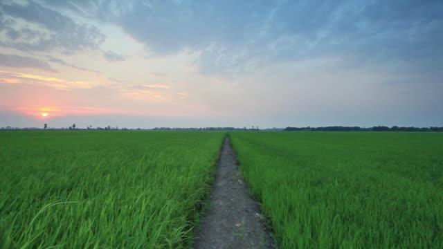 Rice sunset farm video