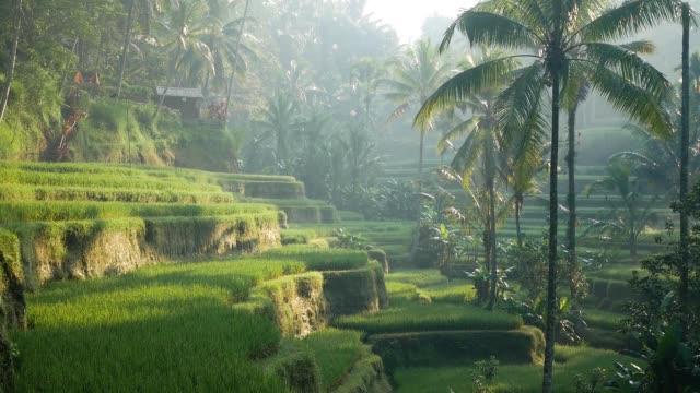 pole taras ryżowy. ubud. bali. indonezja. - taras ryżowy filmów i materiałów b-roll
